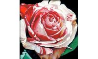 Алмазная мозаика Алая роза, 50x50, полная выкладка, JING CAI GE