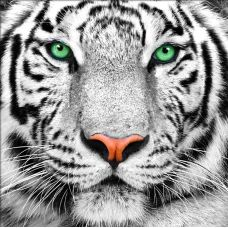 Мозаика стразами Портрет белого тигра, 25x25, полная выкладка, Алмазная живопись
